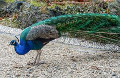 Side view of a male peacock. stock photo