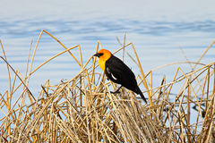 Side view of a male yellow headed blackbird Royalty Free Stock Photo