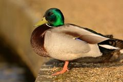 Mallard duck portrait. Side view of a mallard duck perched on a stone wall by the waters edge Stock Image