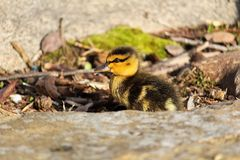 Side view of a Mallard duckling among rocks.  Royalty Free Stock Photo