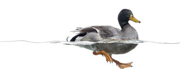Side view of a Mallard floating on the water. Anas platyrhynchos, isolated on white Royalty Free Stock Photos
