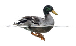 Side view of a Mallard floating on the water. Anas platyrhynchos, isolated on white Stock Image