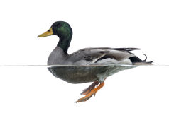 Side view of a Mallard floating on the water. Anas platyrhynchos, isolated on white Stock Photos