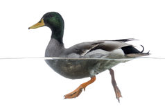 Side view of a Mallard floating on the water Stock Photography