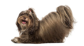 Side view of a Maltese bowing, panting, looking at the camera Royalty Free Stock Image
