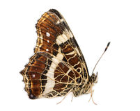 Side view of a Map butterfly landed on the ground Royalty Free Stock Photos