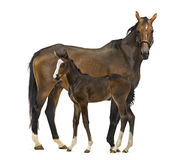 Side view of a mare and her foal Royalty Free Stock Photo