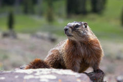 Side view of marmot Royalty Free Stock Photo