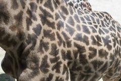 Masai Giraffe Royalty Free Stock Photos