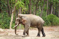 A side view of massive tusker in musth Stock Photo