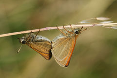 A side view of a mating pair of Essex Skipper Butterfly Thymelicus lineola perched on a grass stem, with their wings closed. Royalty Free Stock Photo