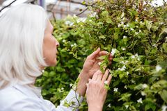 Side view of mature woman working in greenhouse Royalty Free Stock Photo