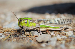 Side view of migratory locust in wilderness Royalty Free Stock Images
