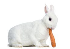 Side view of a Mini rex rabbit eating a carrot, isolated Stock Photo