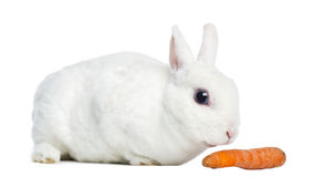 Side view of a Mini rex rabbit sniffing a carrot, isolated Stock Images