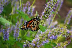 Side view of a Monarch butterfly with a broken wing on a blue Veronica flower. Monarch butterfly with a broken wing on a blue Veronica flower stock photography