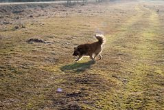 Side view of the mongrel dog running through the meadow. Contour light Stock Photography