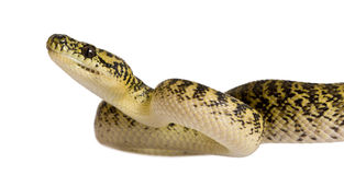 Side view of Morelia spilota variegata. Morelia spilota variegata, a subspecies of python, against white background Stock Photography