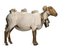 Side view of Mourerou sheep wearing bel Stock Photo