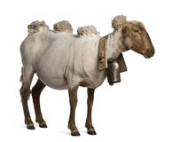 Side view of Mourerou sheep wearing bell in front of white background royalty free stock photos
