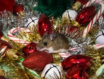 Side view of a Mus musculus, or common wild brown house mouse sitting on Christmas decorations. A brown house mouse is sitting on top of a candy cane and a red Stock Image
