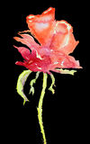 Side view of a naive rose against a black background. Stock Photos