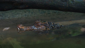 Side view of Narrow-snouted Spectacled Caiman submerged in the river. Stock Images