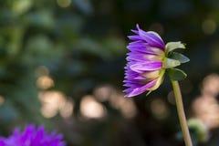 Side View: Newly Blooming Purple Aitara Perplex Dahlia Stock Photo