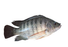 Side view of nile fish isolated white background stock photography