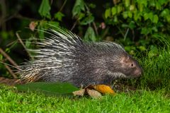 Side view of nocturnal animals Malayan porcupine Royalty Free Stock Image