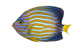 Side view of a Northern Angelfish. Chaetodontoplus septentrionalis, isolated on white Royalty Free Stock Images