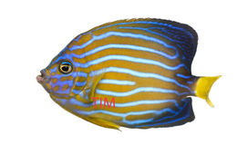 Side view of a Northern Angelfish. Chaetodontoplus septentrionalis, isolated on white Stock Images