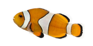 Side view of an Ocellaris clownfish, Amphiprion ocellaris. Isolated on white stock image