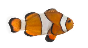 Side view of an Ocellaris clownfish, Amphiprion ocellaris. Isolated on white stock photo