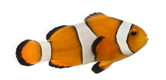 Side view of an Ocellaris clownfish, Amphiprion ocellaris. Isolated on white royalty free stock images