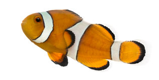 Side view of an Ocellaris clownfish, Amphiprion ocellaris royalty free stock image