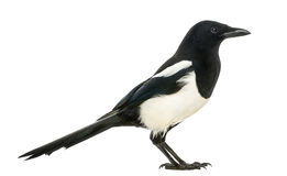 Free Side View Of A Common Magpie, Pica Pica, Isolated Stock Images - 34062484