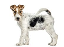 Free Side View Of A Fox Terrier Dog, Standing, Isolated Royalty Free Stock Photography - 105770267
