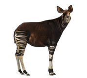Side view of an Okapi looking back, Okapia johnstoni, isolated Stock Images