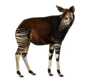 Side view of an Okapi standing, looking back, Okapia johnstoni Stock Photo