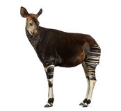 Side view of an Okapi standing, looking back, Okapia johnstoni Royalty Free Stock Image