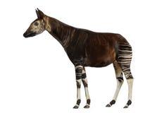 Side view of an Okapi standing, Okapia johnstoni, isolated. On white Stock Photos