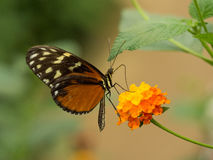 Side view of orange and yellow spotted butterfly Royalty Free Stock Images