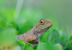 Side view  of Oriental garden lizard (Calotes mystaceus) standin Royalty Free Stock Images