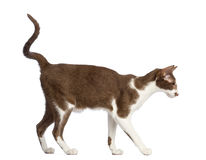 Side view of an Oriental Shorthair walking Stock Images