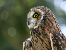 Side view of an owl. Stock Image