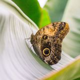 Side view of the owl butterfly resting on a leaf. A close up side view of an owl butterfly perched on a tropical leaf, showing its large eye-spots Stock Photography
