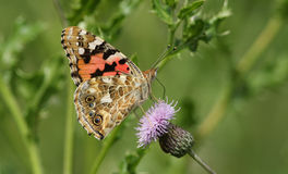 A side view of a Painted Lady Butterfly Vanessa cardui perched on a thistle flower with its wings closed, nectaring. Royalty Free Stock Images
