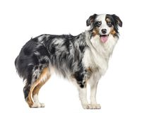 side view of a panting australian Shepherd standing up (1.5 year stock photos