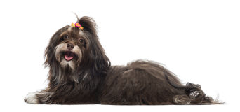 Side view of a panting Havanese, isolated Stock Images